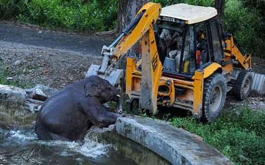экскаватор-погрузчик JCB спасает слоненка из бассейна